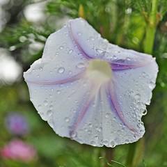 Ich stehe nicht im Regen.... (Uli He - Fotofee) Tags: nikon rosen makro rosenblatt garten uli ulrike regen wein frauenmantel sommerregen ringelblume hergert prachtwinde nachdemregen nikond90 gartenparadies fotofee amtagalsderregenkam ulrikehe ulrikehergert ulihe