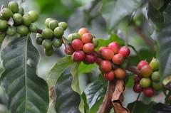 Grans de cafè o detall de la planta, Quindío, Colòmbia (heraldeixample) Tags: coffee café colombia berries seeds plantation cafetal plantación granos quindío cafeto heraldeixample