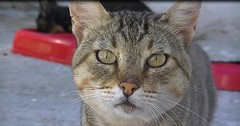 Tigre (Diary of a Feral Cat) Tags: boss cats pets animals alan cat jesse de apache olivia diary tiger gatos el foster loki napoli tina brave conny tigre hj diario goku darky punkie yingo rebbie blankita herdy gerdy amedia trign
