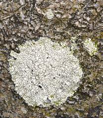 Lichen, Rhubodach shore ** (CactusD) Tags: macro scotland nikon 85mm micro lichen f28 bute tiltshift pce rhubodach 85pce d800e mtsub