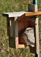 Well no wonder . . . (Dr. Farnsworth) Tags: wood summer house mi kill bees bluebird fernridge honeybees liveandletlive paperwasps september2015