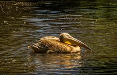 Pelican (Ashkan Kankash) Tags: light favorite lake bird nature water 35mm zoo lights aqua view sony hamburg fine a7 discover alpha7 finegold pelikane favoritesonly dazzlingshots