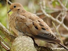 Mourning Dove (rudeyard) Tags: mourningdove molt hy modo hatchyear sanfranciscobirds
