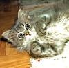 00388 (d_fust) Tags: cat kitten gato katze 猫 macska gatto fust kedi 貓 anak katt gatito kissa kätzchen gattino kucing 小貓 고양이 katje кот γάτα γατάκι แมว yavrusu 仔猫 का skorpi बिल्ली बच्चा