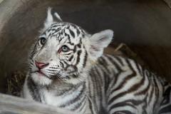 White Bengal Tiger Cub (Sandra Wildeman) Tags: cute nikon 70300mm tierpark tijger tigre bigcats whitetiger dierentuin bengaltiger olmen tigreblanco olmensezoo pantheratigristigris bengaalsetijger katachtigen whitetigercub tigredebengale royalbengaltiger tigreblanc d5300 indischertiger
