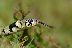 juvenile grass snake, Natrix natrix helvetica (1 of 3 images) (willjatkins) Tags: snake snakes britishwildlife purbeck heathland grasssnake sigma105mm ukwildlife britishsnakes britishreptiles dorsetwildlife macrowildlife europeansnakes uksnake uksnakes britishreptilesandamphibians europeanreptiles ukreptiles nikond7100 heathlandwildlife ukamphibiansandreptiles ukreptilesandamphibians britishamphibiansandreptiles dorsetreptiles purbeckwildlife dorsetsnakes heathlandreptiles purbeckreptiles snakesofeurope