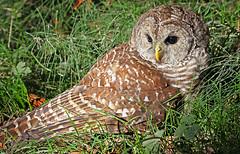 Who's in the grass? (Team Hymas) Tags: washington wildlife owl refuge ridgefield