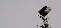 American Bald Eagle (turn off your computer and go outside) Tags: fall wisconsin october critter baldeagle raptor wi brid americanbaldeagle 2015 marinettecounty northeastwisconsin wisconsinbaldeagletakeoff