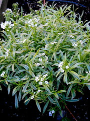 Sweet Alyssum (sights and thoughts) Tags: whiteflowers sweetalyssum whiteflowersonly plantdirectory