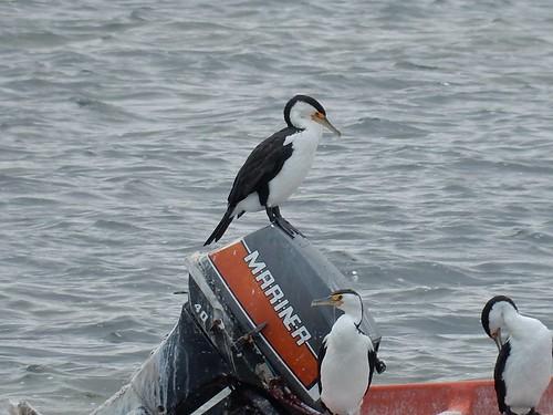 birds cormorants boat brand mariner outboardmotor portkenny