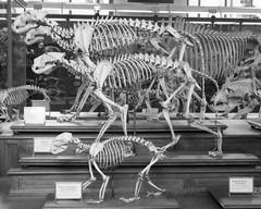 Frozen motion B&W (Monceau) Tags: blackandwhite motion paris animals museum anatomy skeletons comparative fourfooted galeriedepaléontologieetdanatomiecomparée