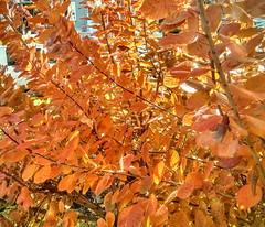 beautiful autumn colour (angelinas) Tags: trees light orange sunlight nature leaves automne outdoor natura autumnleaves autunno mothernature naturelovers lanature treelovers autumnlovers