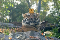 The Real King (zenseas : )) Tags: seattle silly male fun washington funny king tiger crown regal woodlandparkzoo panthera pantheratigris wpz malayantiger pantheratigrisjacksoni bayanwilds