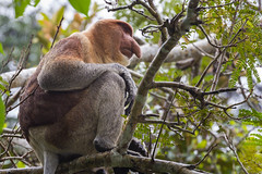 nasique (BigZoic) Tags: animal monkey wildlife borneo primate proboscis singe nasique