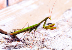 Praying Mantis in Sicily, Italy (AndiZ275) Tags: wild italy green nature mantis insect outdoors praying great sicily prayingmantis