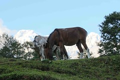 Ghandruk 33 (Mabacam) Tags: nepal homes horses foothills trekking walking landscape outdoors scenery village hiking mules annapurna mountainvillage 2015 ghandruk annapurnasouth hiunchuli ghandrung annapurnafoothills
