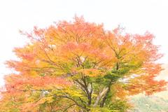 TOKUSHIMA DAYS- Iya Valley (junog007) Tags: autumn mountain japan nikon autumnleaves valley shikoku tokushima autumnalleaves d800 iya 2470mm nanocrystalcoat