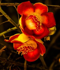 Naglingam flower (sanlapb) Tags: red brazil flower tree yellow n nut deciduous cannonball excelsa couroupita guianensis bertholletia naglingam