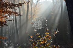 DSC_8676 eine sehr schöne Herbstatmosphäre im Wald - a very beautiful autumn atmosphere in the forest (baerli08ww) Tags: autumn mist forest germany deutschland nebel herbst spiderweb wald spinnennetz rheinlandpfalz westerwald rhinelandpalatinate westerforest