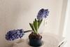 Y otra mas, es que me gustan mucho. (mati-hari) Tags: flores verde azul plantas ramas bulbos tallos tiestos jacintos