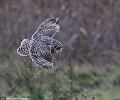 Short Eared Owl - Explored (Hilary Chambers - catching up again) Tags: