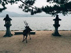 Majestic. (nozza94) Tags: travelling shrine outdoor hiroshima deer itsukushima vscocam