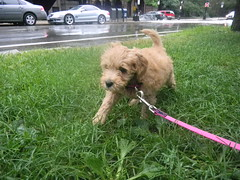 marley-on-her-first-day-in-rainy-boston--shes-one-of-kenzie-and-chewys-f1b-puppies-_4788791432_o
