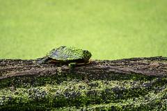 swamp turtle close-up (WMJ614) Tags: log turtle painted wildlife amphibian swamp algae eastern