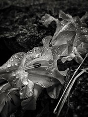Nature Flower Growth Wet Beauty In Nature Fragility Drop Dew Plant Close-up Water Rain Petal Freshness Flower Head Outdoors No People Day (Cesc Cam) Tags: nature flower growth wet beautyinnature fragility drop dew plant closeup water rain petal freshness flowerhead outdoors nopeople day