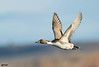 Northern-pintail (Corey Hayes) Tags: bosquedelapache nm duck sunset flight wild fast drake bird art coreyhayes
