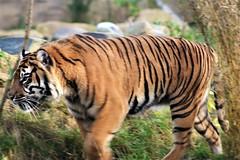 Sumatran Tiger (Panthera Tigris Sumatrae) (Grumman G1159) Tags: sumatrantiger pantheratigrissumatrae