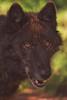 Keyni (Cruzin Canines Photography) Tags: animal animals canon canine canoneos5dmarkiii ef100400mmf4556lisusm wildlife wild wildanimal wolf wolves tundrawolf colorado coloradowolfandwildlifecenter closeup portrait nature naturallight naturepreserve zoo outdoors outside