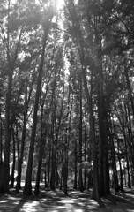 Honestly [Nikon F55 Film] (Aviator195) Tags: nikon nikonfilm nikonf55 f55 film kodak kodakfilm kodakcolorplus200 kodakcolorplus colorplus colorplus200 filmphotography filmisnotdead filmphotos filmscan filmphoto epsonv550 epson epsonperfectionv550 blackandwhite monochrome monochromatic greyscale grayscale trees tree canberra park nature branches leaves australia