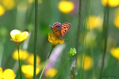 Papillon gourmand (jpto_55) Tags: papillon boutondor printemps xe1 fuji proxi hautegaronne france fujifilm omlens om85mmf2 ngc