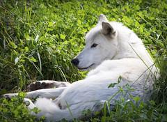 White Wolf I (Photato Jonez) Tags: wolf white grass green sun lupus detroit zoo michigan royal oak alex day alexander