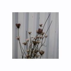 Fleurs de palissade / hiver (hélène chantemerle) Tags: extérieur fleurs palissade photosderue rue urbain végétaux hiver gris beige outside flowers fence street plants winter gray
