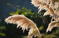 Al viento (Franco D´Albao) Tags: francodalbao dalbao nikond60 plumeros planta plant brisa breeze contraluz backlight