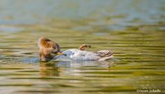 Lounging lady (Photosuze) Tags: mergansers ducks female hoodedmergansers floating grooming preening water reflection animals nature wildlife