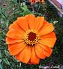 Flowereye (PinoShot) Tags: fisheye fish flower occhio pesce fiore margherita ape bee sicily garden giardino nature natura color orange arancione yellow giallo polline pollen