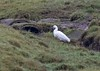 Little Egret (penlea1954) Tags: sea bird wader little egret cumbria solway coast estuary england egretta garzetta uk white