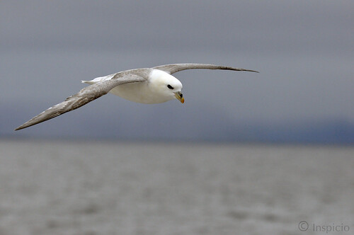 Fulmar Boréal en vol, 2015 Iceland (Northern Fulmar in flight)