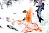 _DSC2747 Koi Fish (Charles Bonham) Tags: matthaeibotanicalgardens annarbormi conservatory koifish fish carp koipond japanese sonya7r sonyfe2890mmmacrogoss charlesbonhamphotography posterized