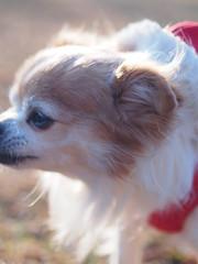 ピノ2017-01-23 15.44.20 (やんちゃなちわわ) Tags: ピノ pino 犬 dog チワワ chihuahua