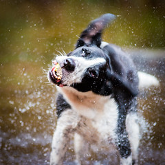action shot! (grahamrobb888) Tags: nikon nikond800 afnikkor80200mm128ed zac dog pet perthshire birnamwood water spray splash ears