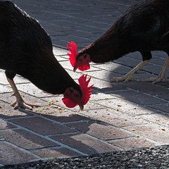 dinner for two (Jim_ATL) Tags: two feral roosters red coxcomb birds street keywest florida