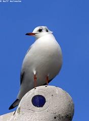 Seagull - Piran January 2017 01 (reineckefoto) Tags: seagulls piran sea blue sky bird