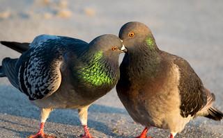 Passionate Pigeons... Explored 1-25-17