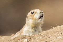 March 5, 2017 - A Prairie Dog barks in Thornton. (Tony's Takes)