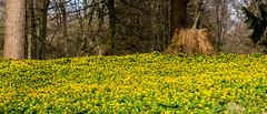 Winterling-Wiese im Schlosspark (p.schmal) Tags: panasonicgx80 ahrensburg schloss schlosspark winterlinge krokusse