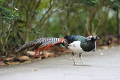 Lady Amherst's Pheasant (Vinchel) Tags: singapore botanic gardens outdoor nature wildlife animal bird canon 1dx 200mm f2